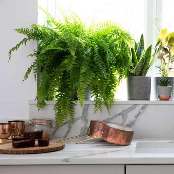 Boston fern on kitchen shelf with other plants