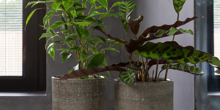 Ficus Benjamina in dark grey pot on shelf next to Calathea in dark grey pot