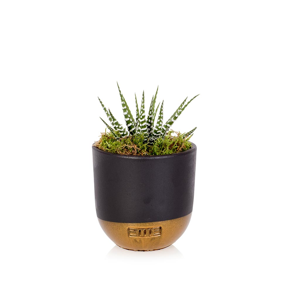 Little Haworthia in a black and gold dipped pot