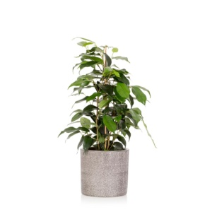 Ficus Benjamina in Little Botanical grey ceramic pot