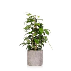 Ficus Benjamina in Little Botanical grey ceramic pot