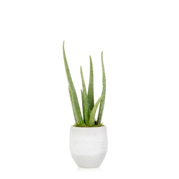 Aloe in grey ceramic pot