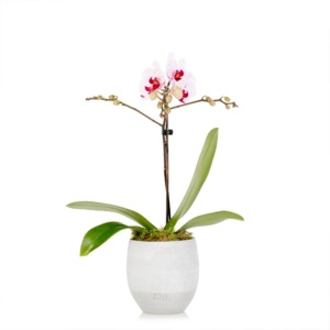 Mini pink orchid in grey ceramic pot