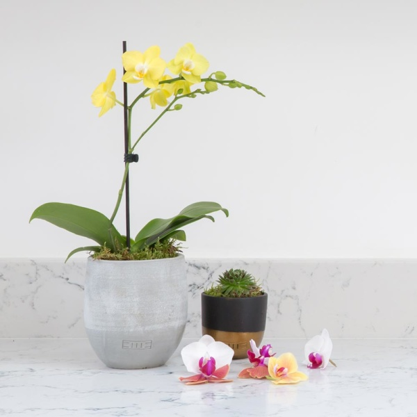 Mini yellow orchid plant in a grey ceramic pot on a kitchen worktop with a little succulent next to it and orchid flowers spread around