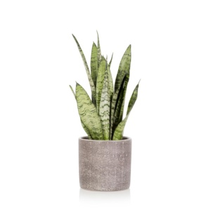 Snakey Sansevieria snake plant in grey ceramic pot