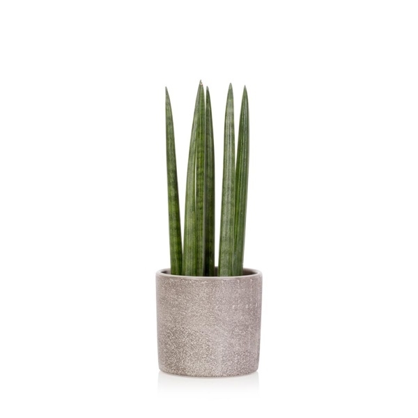 Spiky Sansevieria plant in grey ceramic pot