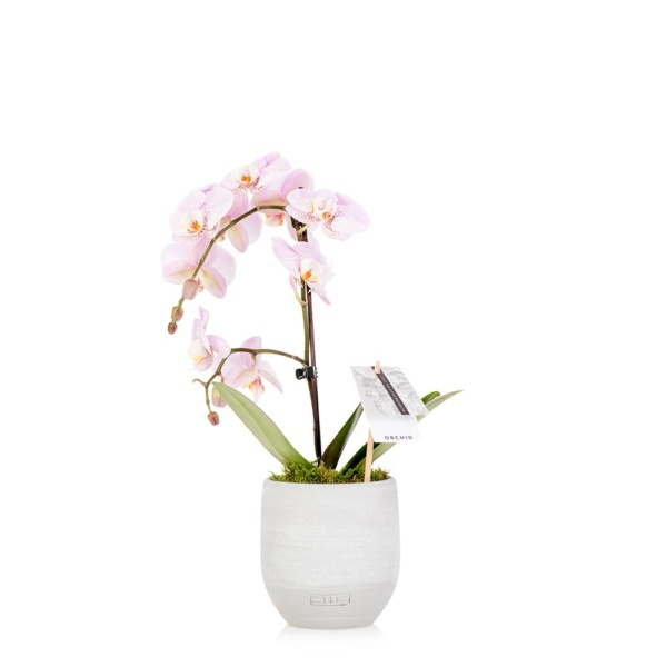 Mini white orchid in grey ceramic pot