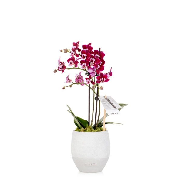 Mini Mauve Orchid in grey ceramic pot
