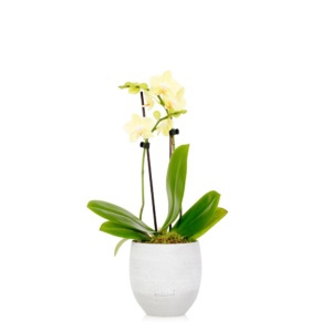 Mini yellow orchid in grey ceramic pot