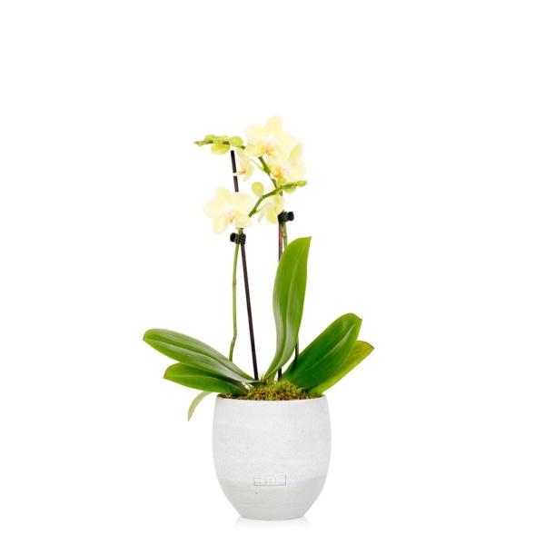 Mini yellow orchid in grey ceramic pot