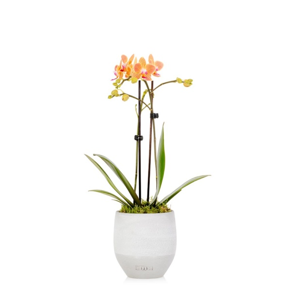 Mini orange orchid in grey ceramic pot