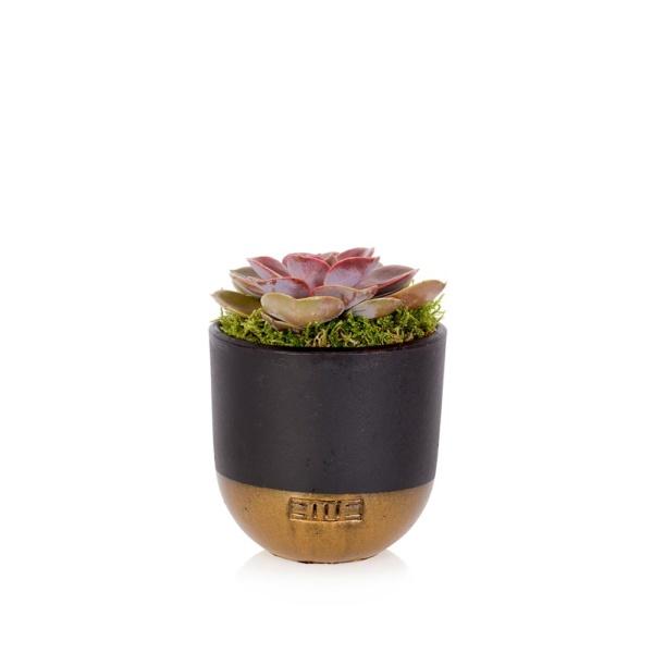 Perle von Nurnberg succulent in black and gold dipped pot