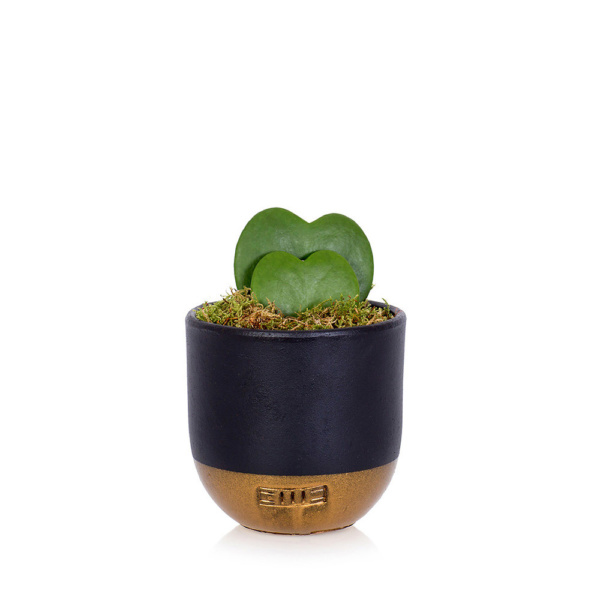 Hoya Kerrii double heart succulent in black and gold dipped ceramic pot