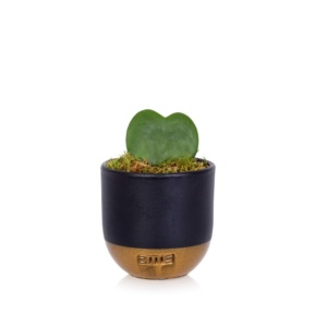 Hoya Kerrii single heart succulent in black and gold dipped pot