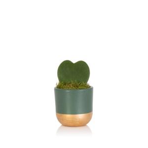 hoya kerrii succulent