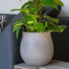 Scindapsus Aurea Devil's Ivy With Mosspole in grey ceramic pot on side table by sofa