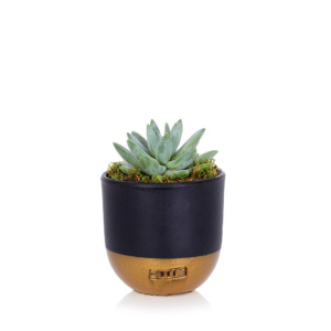 Echeveria Hookeri in black and gold dipped pot
