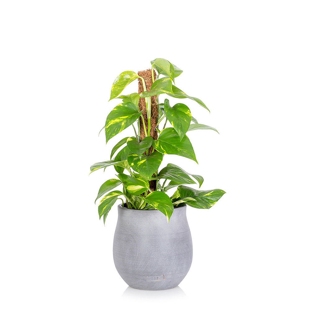 Large Devil's Ivy in grey ceramic pot with a moss pole
