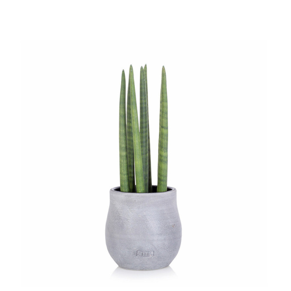 Large spikey sansevieria house plant in grey ceramic pot