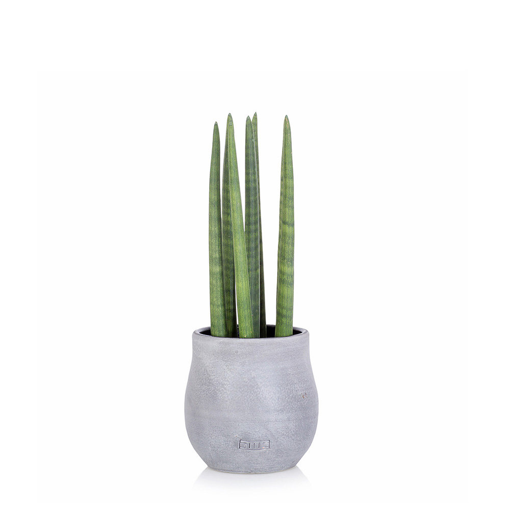 Spikey Sansevieria in a grey ceramic pot