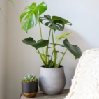 Monstera Swiss Cheese Plant in grey ceramic pot on a small table with another small succulent in a black and gold pot.