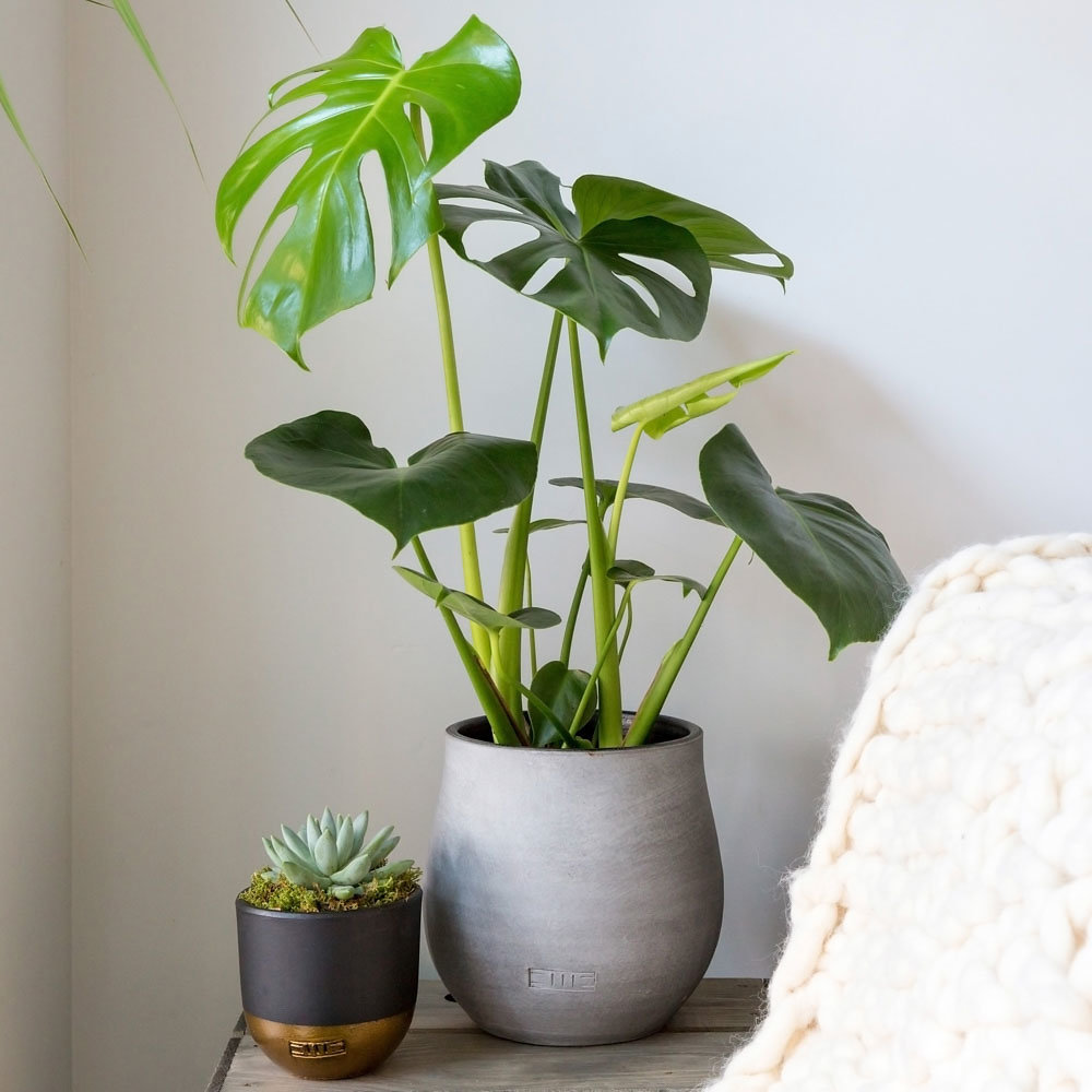 Monstera Deliciosa - Swiss Cheese Plant - The Little Botanical