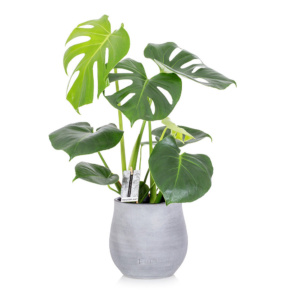 Monstera Deliciosa Swiss Cheese Plant in grey ceramic pot