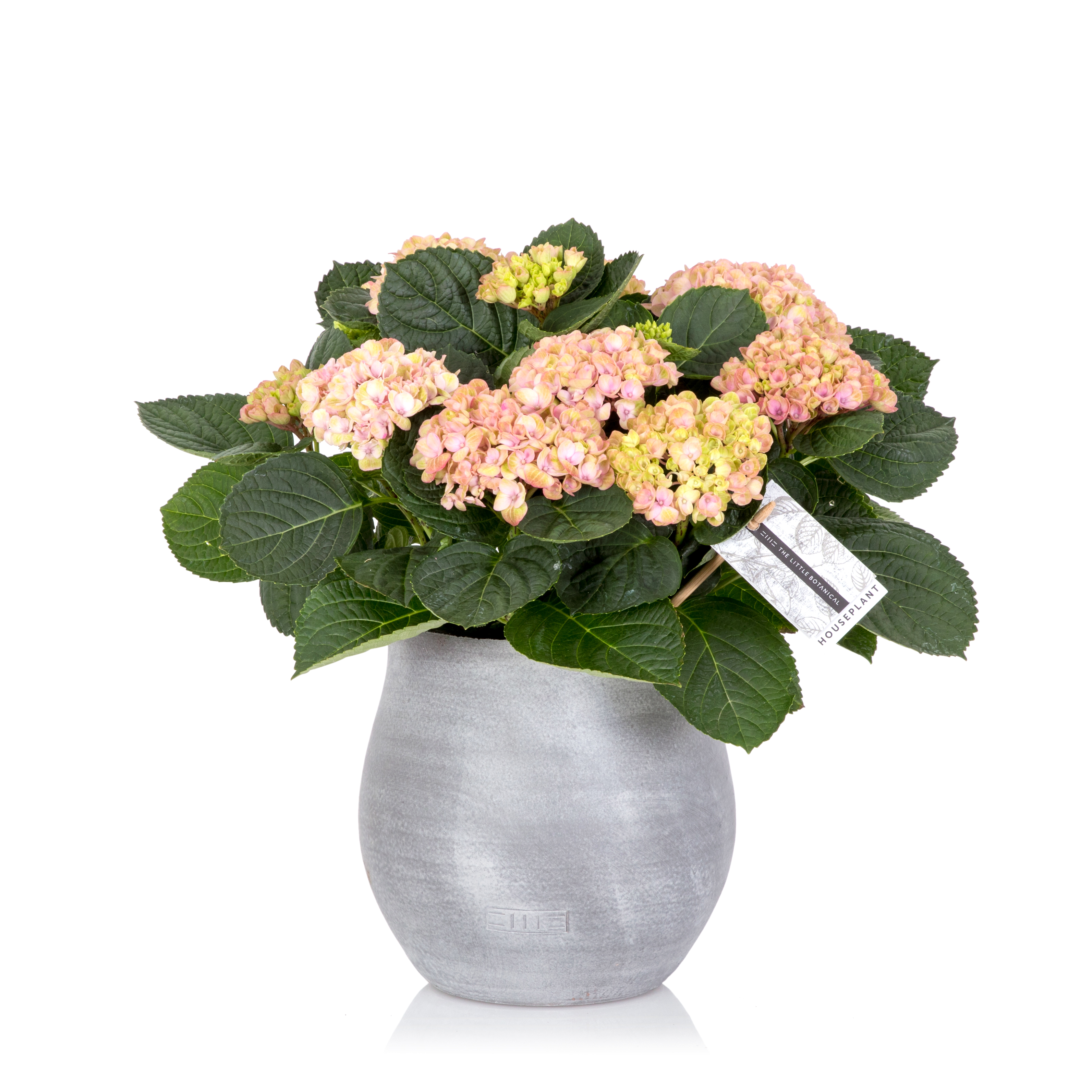 Pink Magical Hydrangea In Grey Pot Stylish Indoor House Plants
