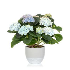 Magical blue hydrangea in grey dipped ceramic pot
