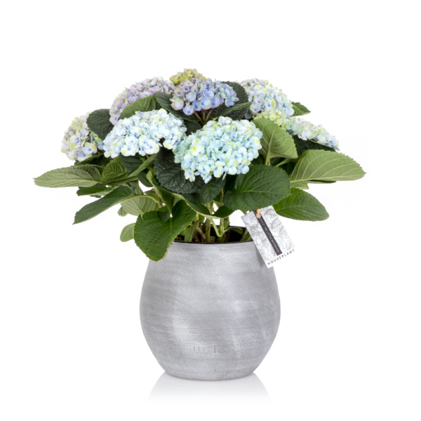 Blue Magical Hydrangea in a Grey Pot
