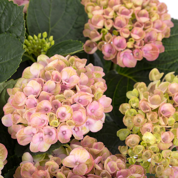 Magical pink hydrangea close up