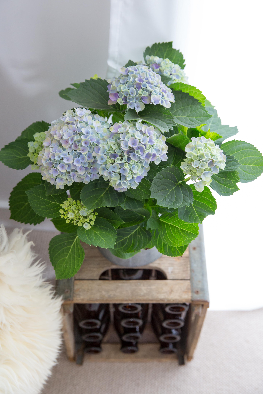 Blue Magical Hydrangeas
