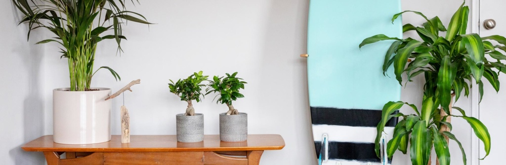 Ficus Ginseng plants on shelf with other plants,  next to a surfboard and large plant