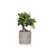 Ficus Ginseng in grey ceramic pot