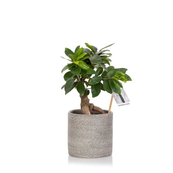 Ficus Ginseng in grey ceramic pot