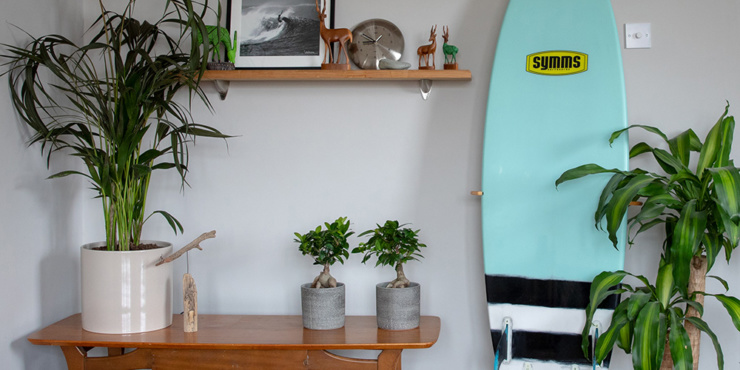 Room with large houseplants, a surf board against the wall and two ficus ginseng plants on a bench