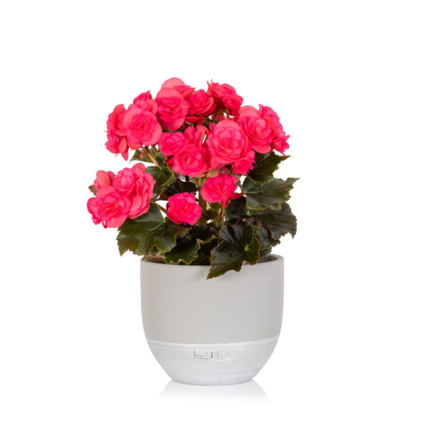 Bright pink flowering begonia in grey ceramic pot