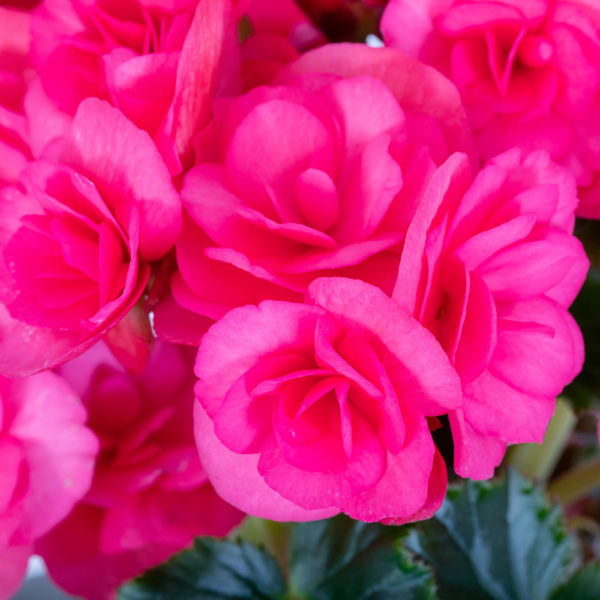 Close up image of bright pink flowering begonia flowers