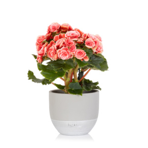 Light pink flowering begonia in a grey ceramic dipped pot