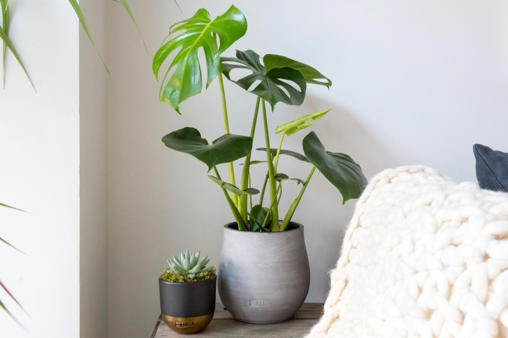 A monstera next to an echeveria hookeri on a table.