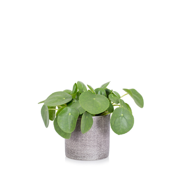Pilea Peperomioides in grey ceramic pot