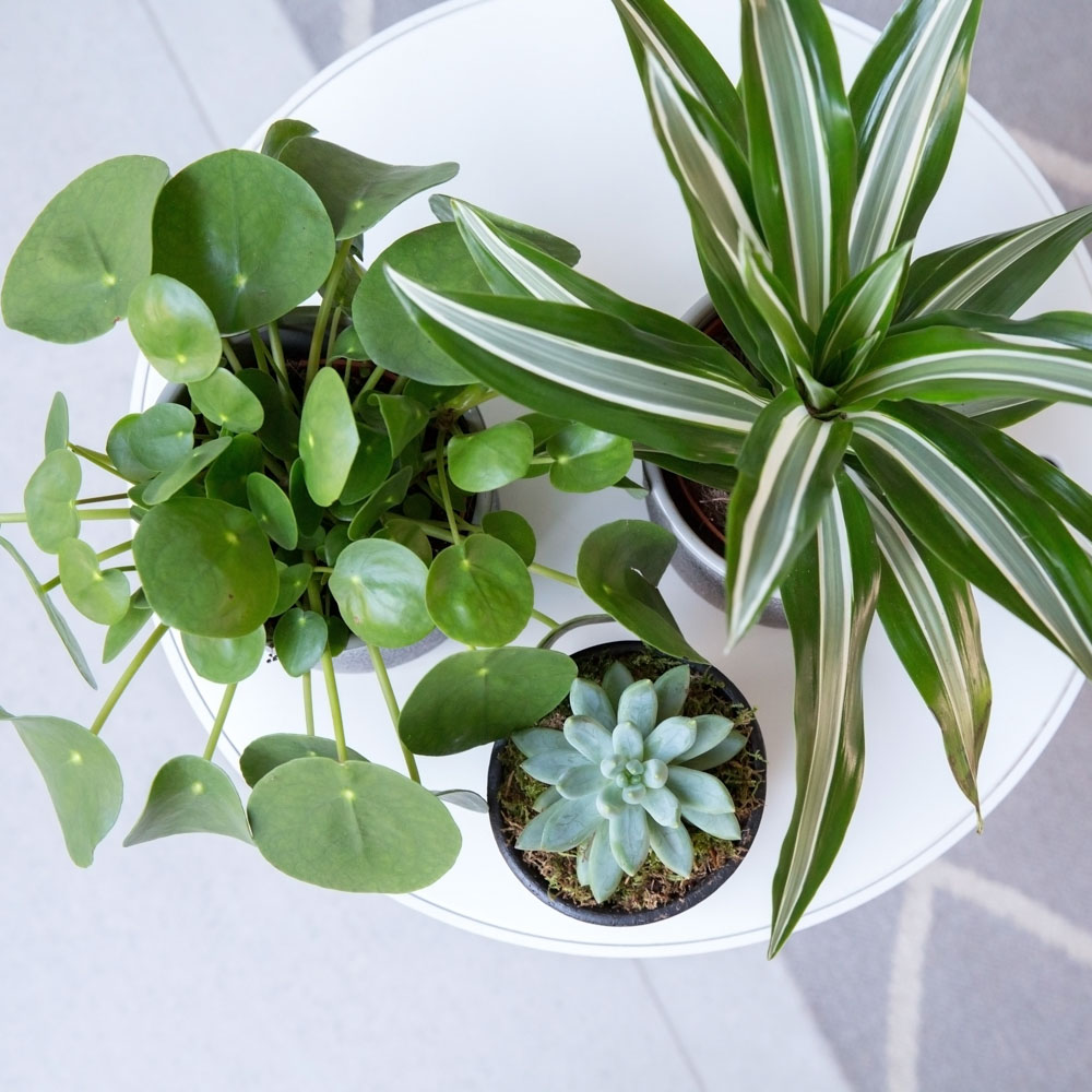 Pilea Peperomioides and other plants on white table, taken from bird's eye view