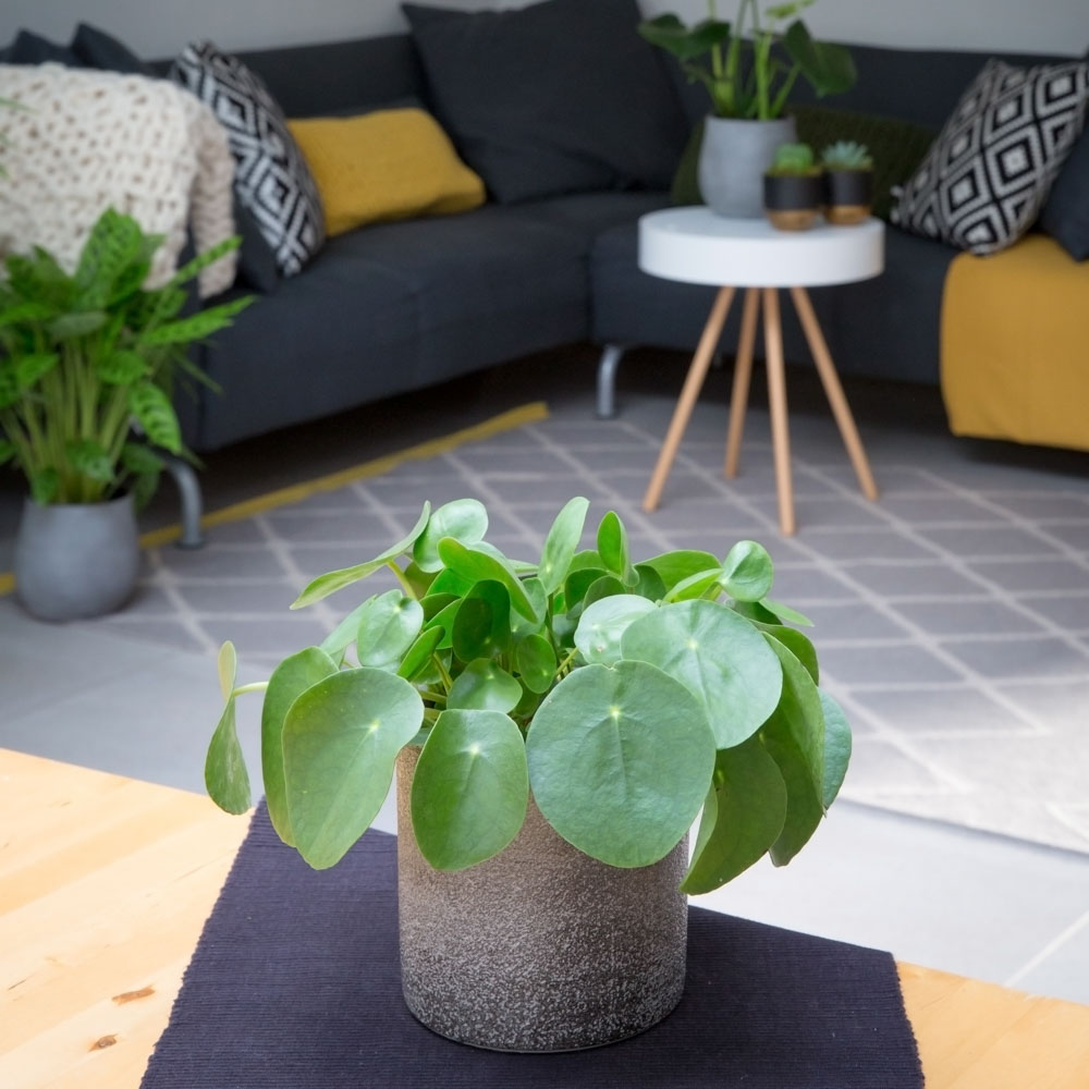 Pilea Peperomioides in a grey pot
