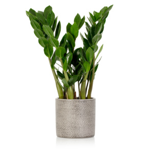 Zamioculcas in grey ceramic pot
