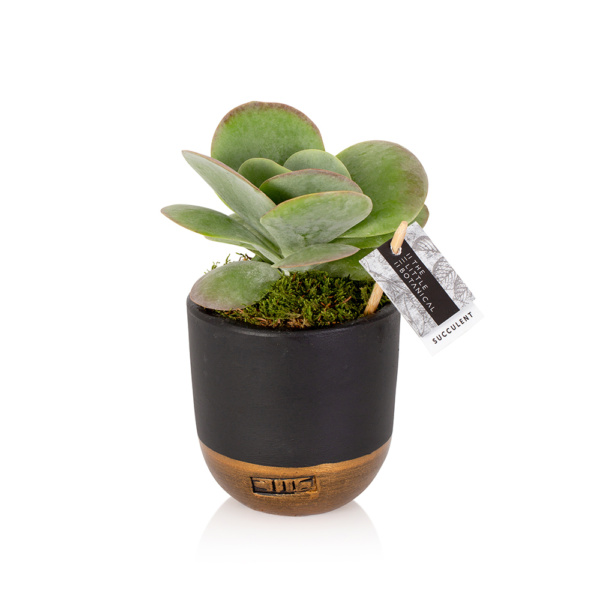 Kalanchoe Thyrisifolia in a black and gold ceramic pot