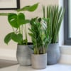 Zamioculcas in grey ceramic pot with Spiky Sansevieria and Swiss Cheese Monstera Plant