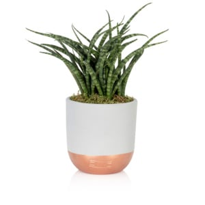 Sansevieria Punk plant in grey and copper ceramic pot