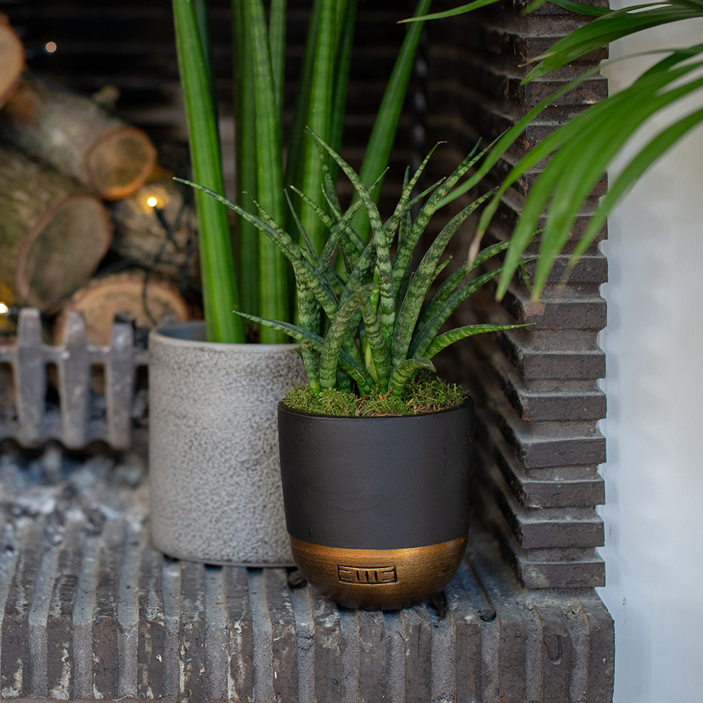 Spikey Sansevieria in a grey pot and Sansevieria Punk in a black and gold dipped pot