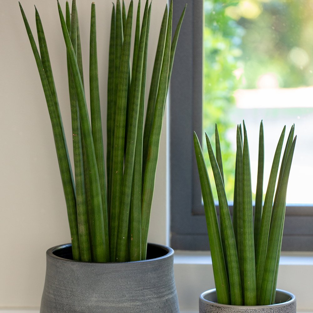 Medium and large Sansevieria Cylindrica or Spikey both in grey pots