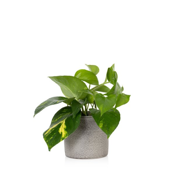 Devil's Ivy in grey ceramic pot